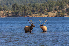 Bull Elk in Lake Stock Photography
