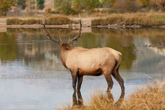 Bull Elk in Lake Stock Photos