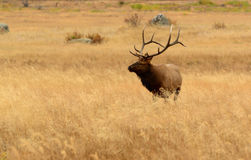 Bull elk with large antlers in golden meadow of Rocky Mountains Stock Photos