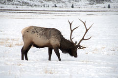 Bull Elk with Large Antlers Stock Photos