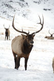 Bull Elk with Large Antlers Standing Stock Images