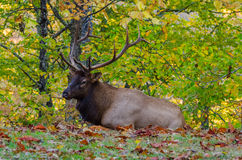 Bull elk laying in fallen leaves Royalty Free Stock Images