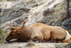 Bull Elk Licking His Front Hoof Royalty Free Stock Images