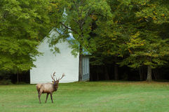 A bull elk and a little white church. Royalty Free Stock Photo