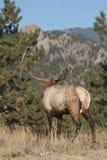 Bull Elk Looking Away. A nice bull elk standing looking away into some pines Royalty Free Stock Image