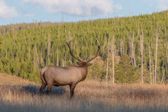 Bull Elk Looking Away in Meadow Royalty Free Stock Images