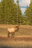 Bull Elk Looking Away Royalty Free Stock Photo