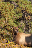 Bull Elk Looking Head on Royalty Free Stock Photography