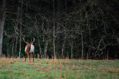 Bull Elk Looks Up from Eating Grass stock image