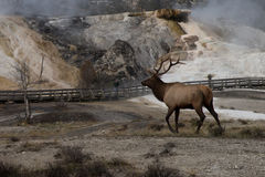 Bull elk Mammoth hot spring Royalty Free Stock Image