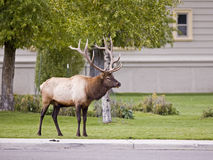 Bull elk in Mammoth Hot Springs Yellowstone Park Stock Photography