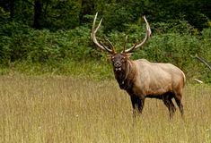 A bull elk with massive antlers stands watching the crowd. Royalty Free Stock Photos
