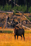 Bull Elk in Meadow Royalty Free Stock Photography