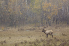 Bull Elk in Meadow Royalty Free Stock Images