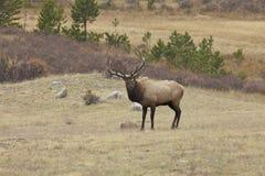 Bull Elk in Meadow Stock Images