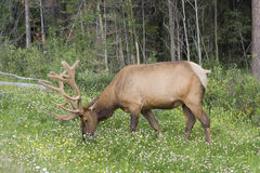 Bull elk on a meadow Stock Photo
