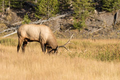 Bull Elk in a Meadow Royalty Free Stock Photography