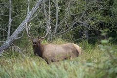 Bull elk calling for a mate royalty free stock image
