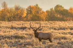 Bull Elk in Meadow in Fall Royalty Free Stock Image