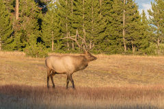 Bull Elk in Meadow Stock Photo