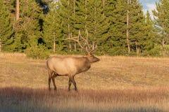 Bull Elk in Meadow Stock Photo