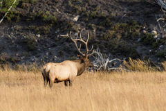 Bull Elk in Meadow Stock Photography