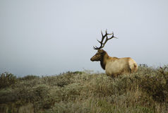 Bull elk in meadow. A bull elk looks at his harem in during the rut in Point Reyes national seashore in California Stock Photo