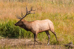 Bull Elk in Meadow. A bull elk in a meadow during the rut Stock Image