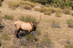 Bull Elk in Meadow Royalty Free Stock Image