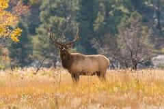 Bull Elk in Meadow in Rut Royalty Free Stock Image