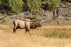 Bull Elk in Meadow in Rut Stock Photo