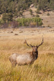 Bull Elk in Meadow Stock Photography