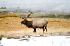 Bull Elk in the Mist Royalty Free Stock Photos
