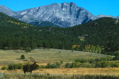 Bull Elk in Mountain landscape Stock Photography