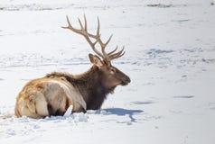 Bull Elk. A bull elk on the National Elk Refuge in Jackson, Wyoming Stock Photos