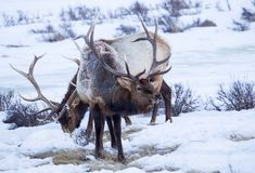 Bull Elk. A bull elk on the National Elk Refuge in Jackson, Wyoming Stock Photography