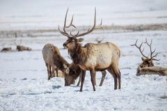 Bull Elk. A bull elk on the National Elk Refuge in Jackson, Wyoming Stock Photo