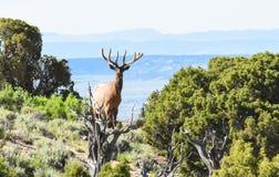 Bull Elk. In Northwest Colorado Setting Stock Image