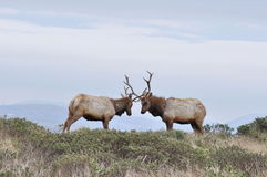 Bull Elk pair Stock Image