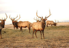 Bull Elk in Pasture. Elk approach the camera on a dismal day. Note that ears have tags Royalty Free Stock Photography