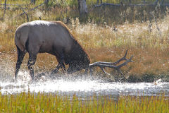 Bull elk pawing water in rut Royalty Free Stock Photos