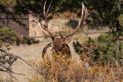 Bull Elk Stock Photo