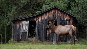 Bull Elk in Pennsylvania royalty free stock photography
