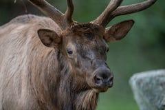 Bull Elk in Pennsylvania stock images