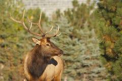 Bull Elk Portrait Stock Photo