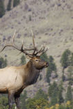 Bull Elk Portrait Stock Images