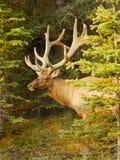 Bull Elk Portrait Stock Photography