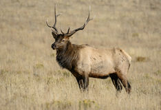 Bull elk portrait. Portrait of a bull elk, during the fall rut, in Rocky Mountain national park Stock Image