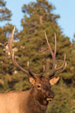 Bull Elk Portrait Royalty Free Stock Images