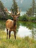 Bull Elk Portrait Stock Image